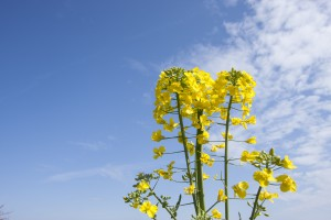canola_flowers